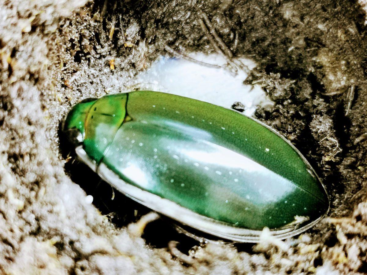 コガタノゲンゴロウ新成虫