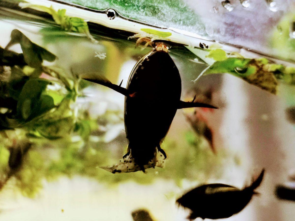 ヤマトヌマエビを襲うコガタノゲンゴロウ