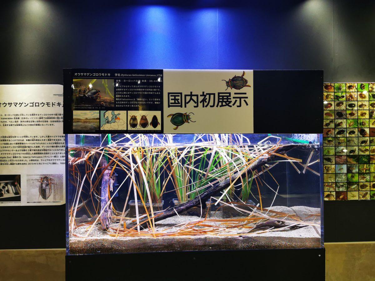 オウサマゲンゴロウモドキ展示水槽