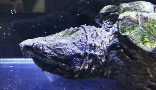 印旛沼カミツキガメ捕獲ツアー