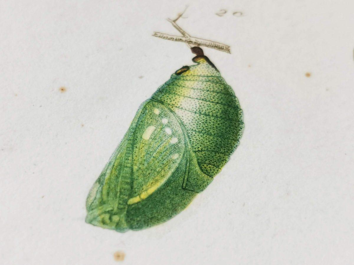 スペインフタオチョウの蛹