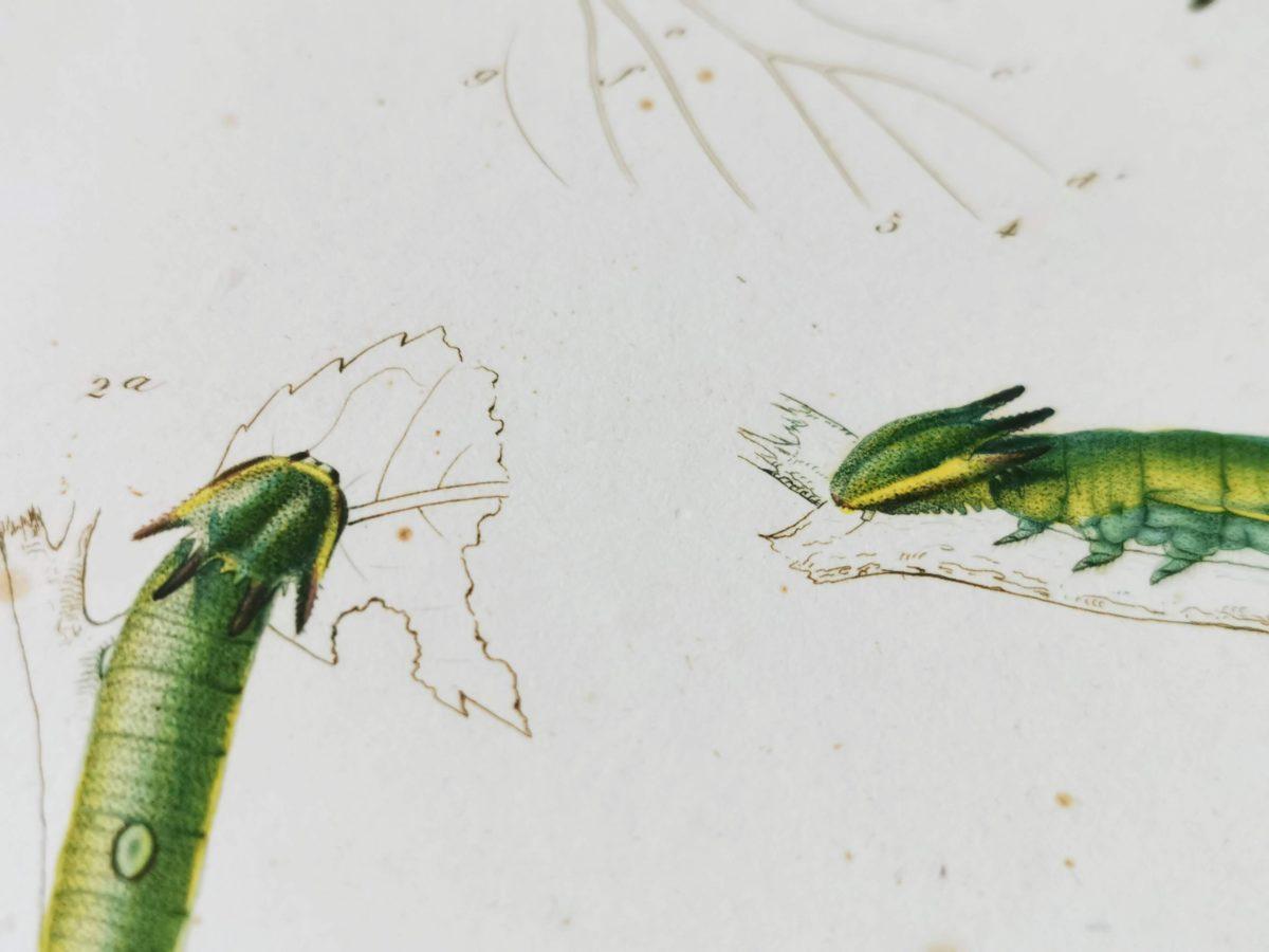 スペインフタオチョウの芋虫