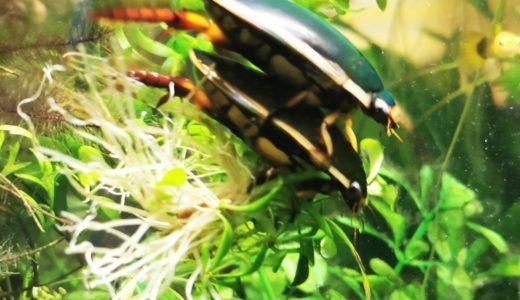 ゲンゴロウ繁殖準備を開始。産卵床の準備と室内水槽へ移動
