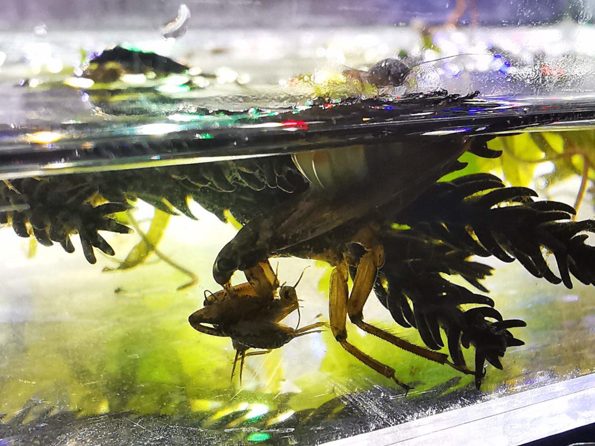 コオイムシ飼育の水深
