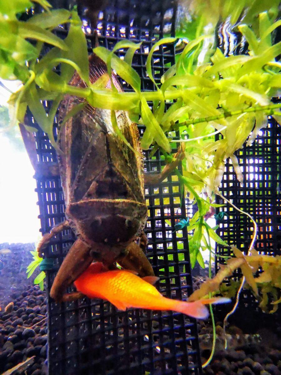 タガメ水槽、金魚を餌に水深15cm