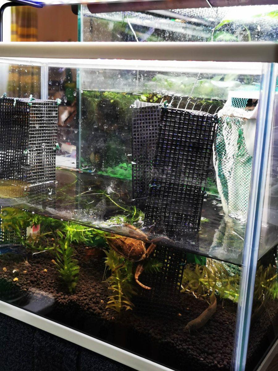 タガメ飼育水槽
