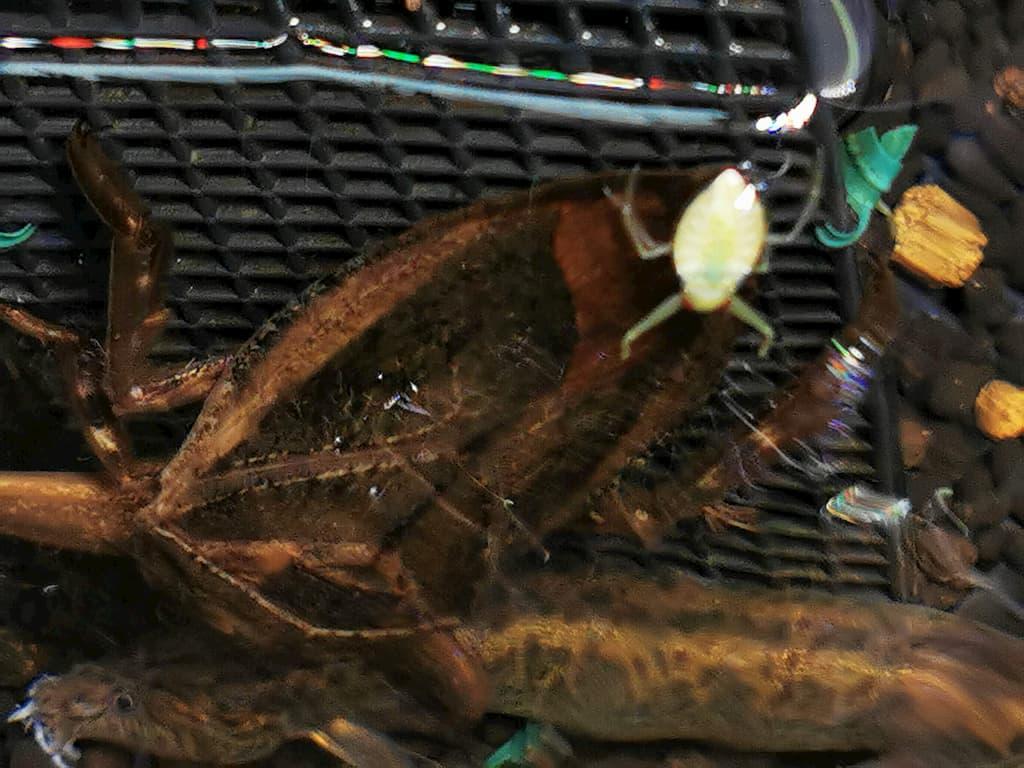 タガメ幼虫と成虫の体格差