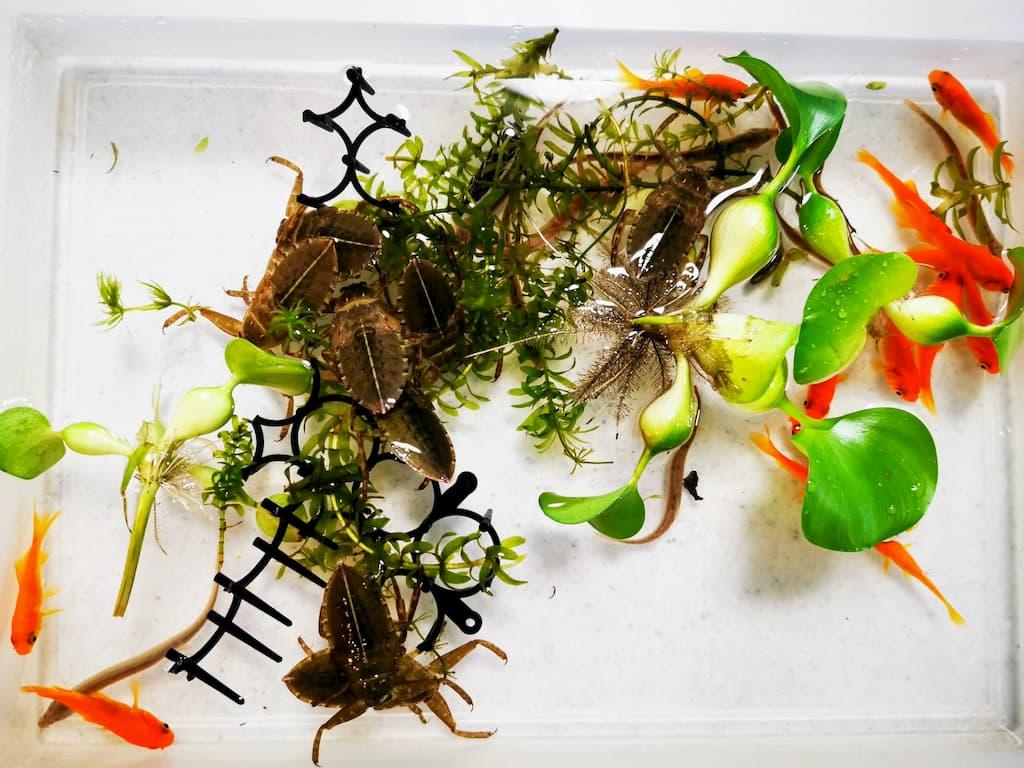 小金とタガメ幼虫