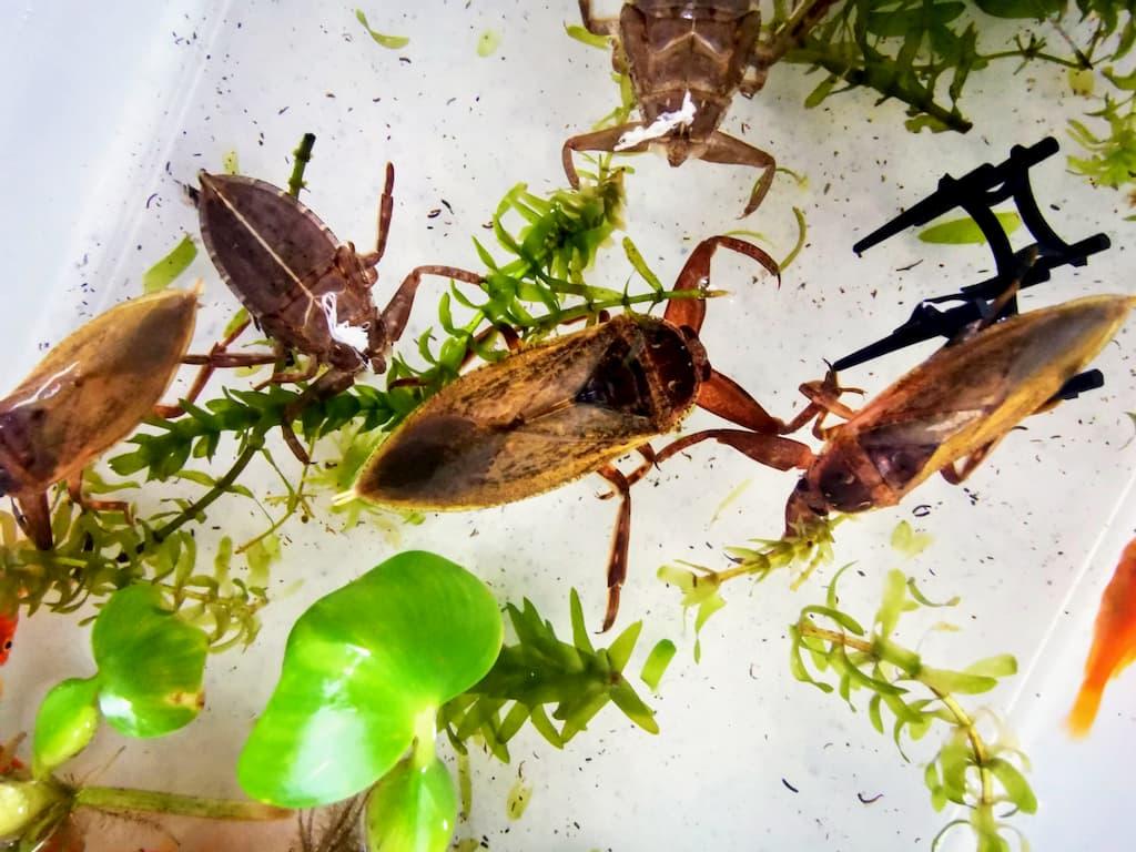 タガメの新成虫たち