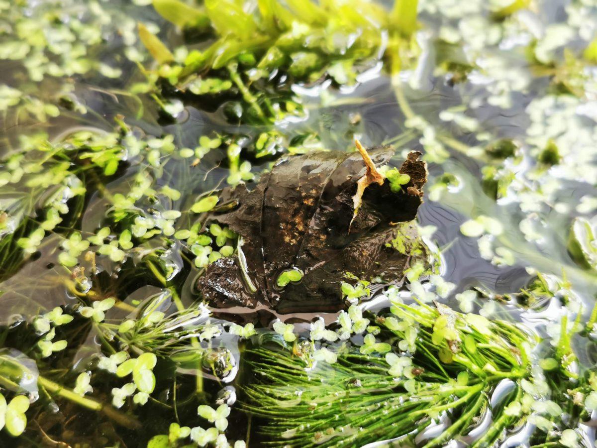 水面に浮かぶガムシの卵嚢