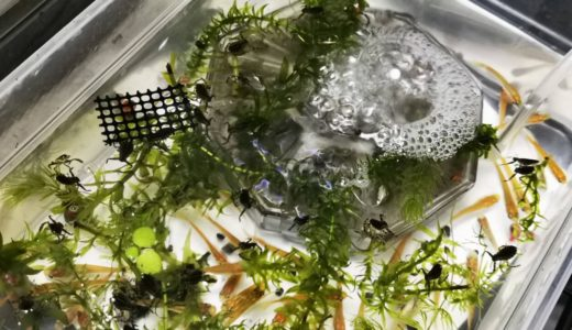 タガメ幼虫の飼育方法(餌・育て方)