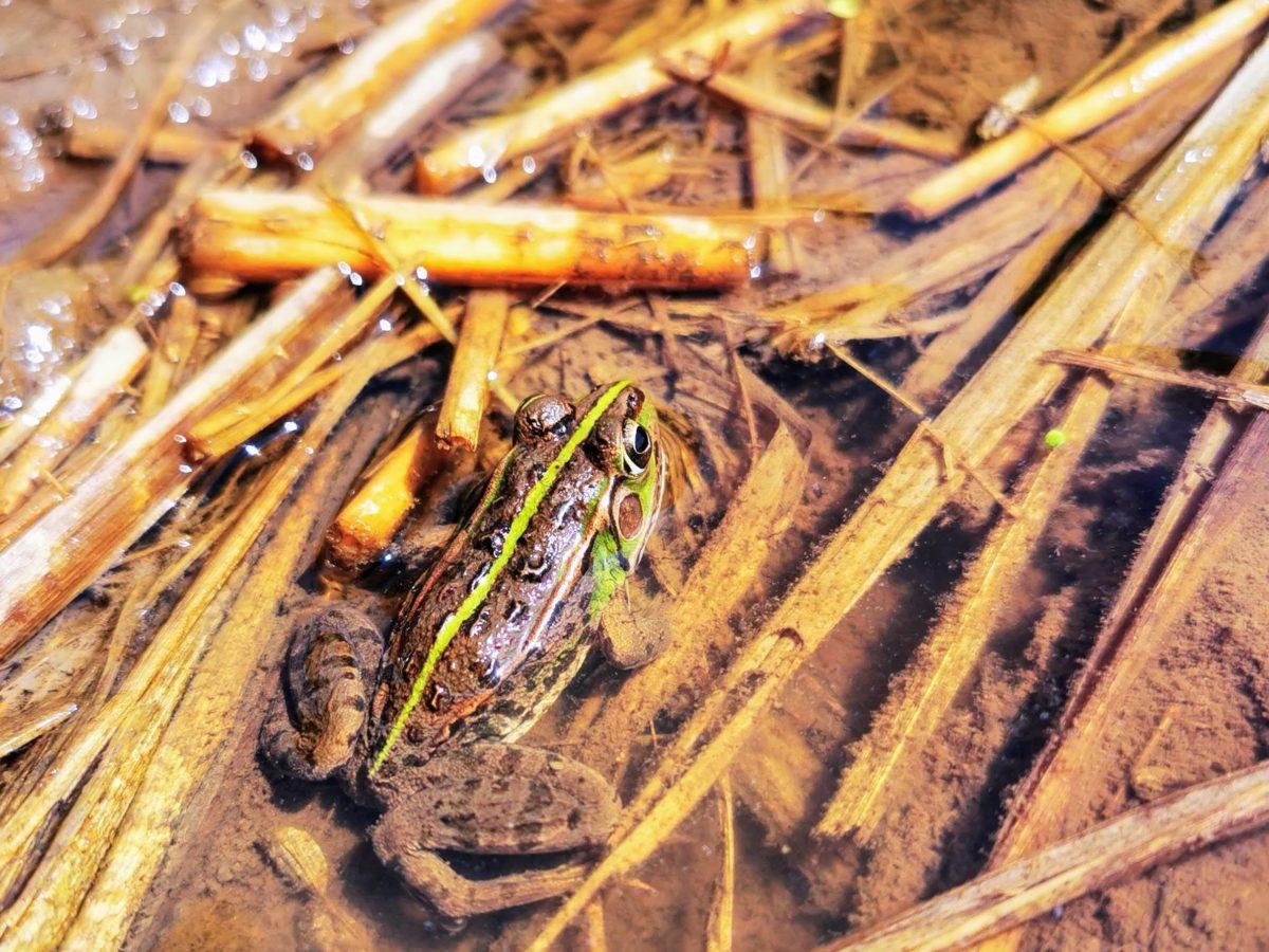 タガメ生息地のカエル