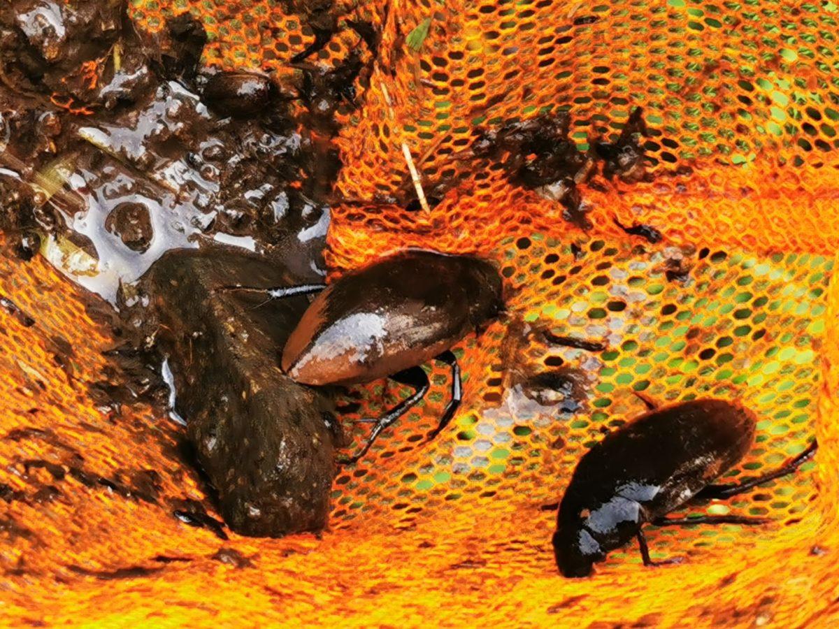 ガサガサで網に入ったガムシ