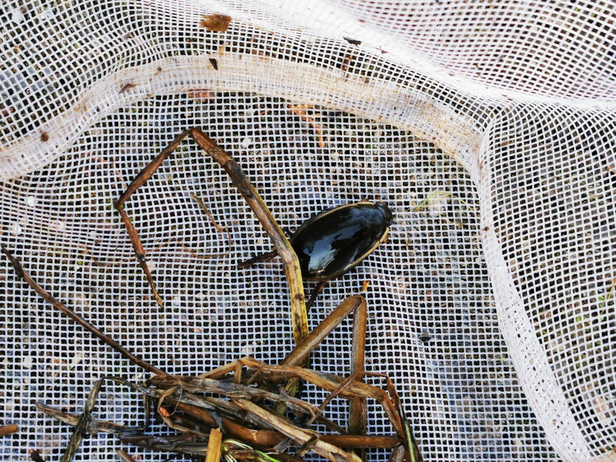 網に入ったゲンゴロウ