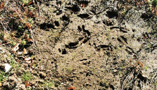 シカやイノシシはこの30年で何倍に?森林からあふれるほど個体数が増加