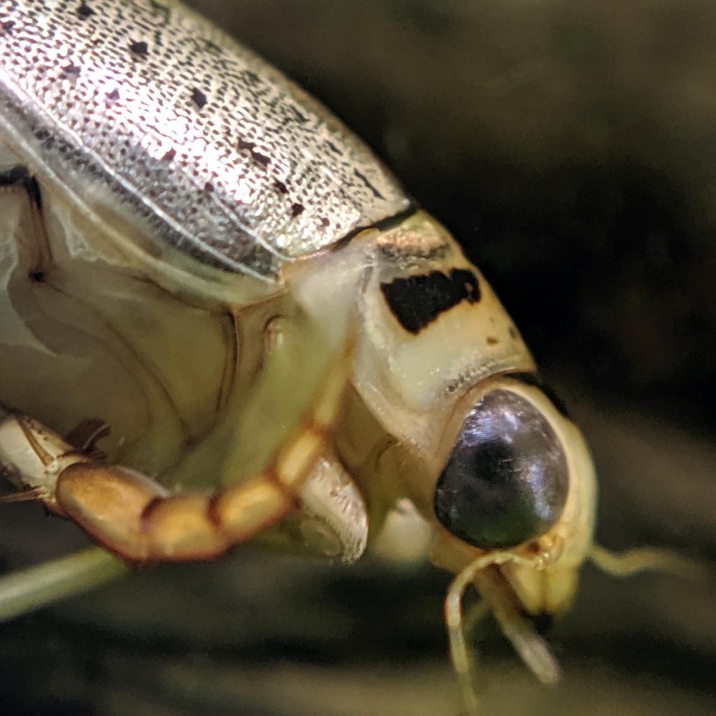 ハイイロゲンゴロウ