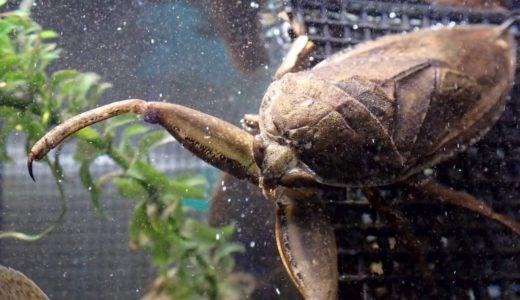タガメはどのくらい水質に敏感なのか