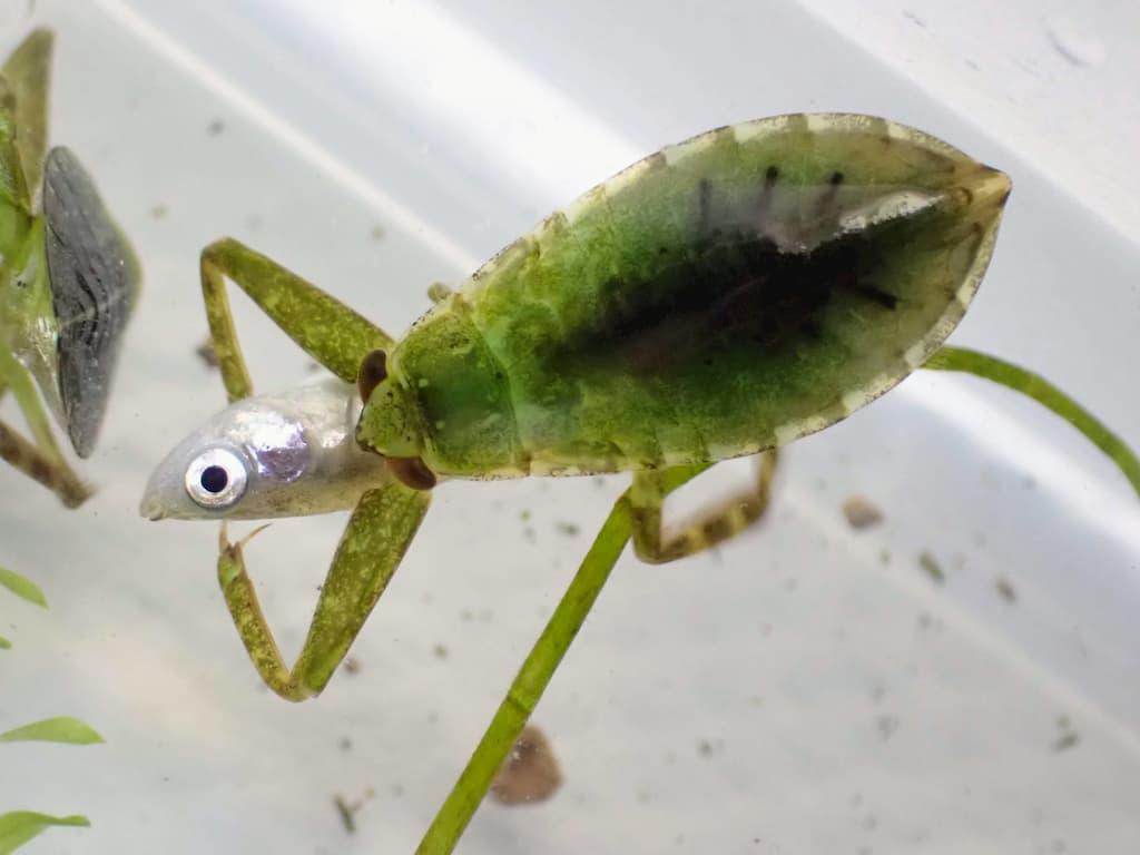 メダカを食べるタガメ幼虫