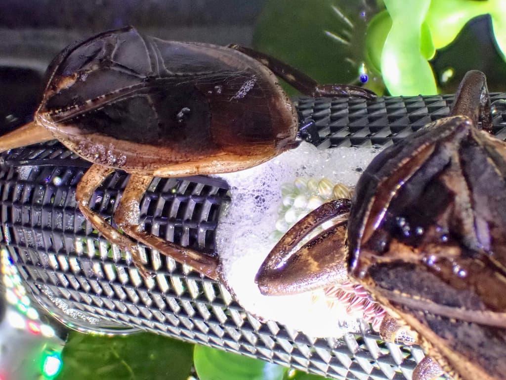 産卵中のタガメ