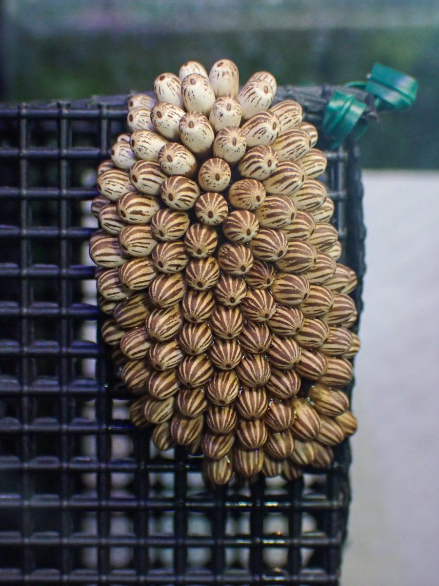 タガメ卵塊