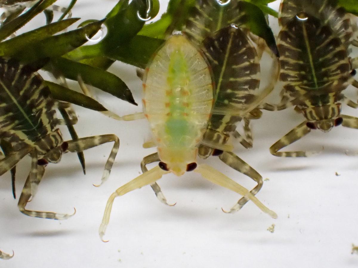 孵化したばかりのタガメ幼虫