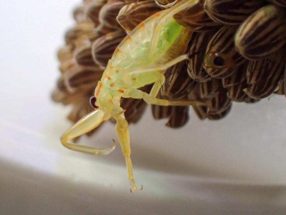 孵化したタガメ幼虫