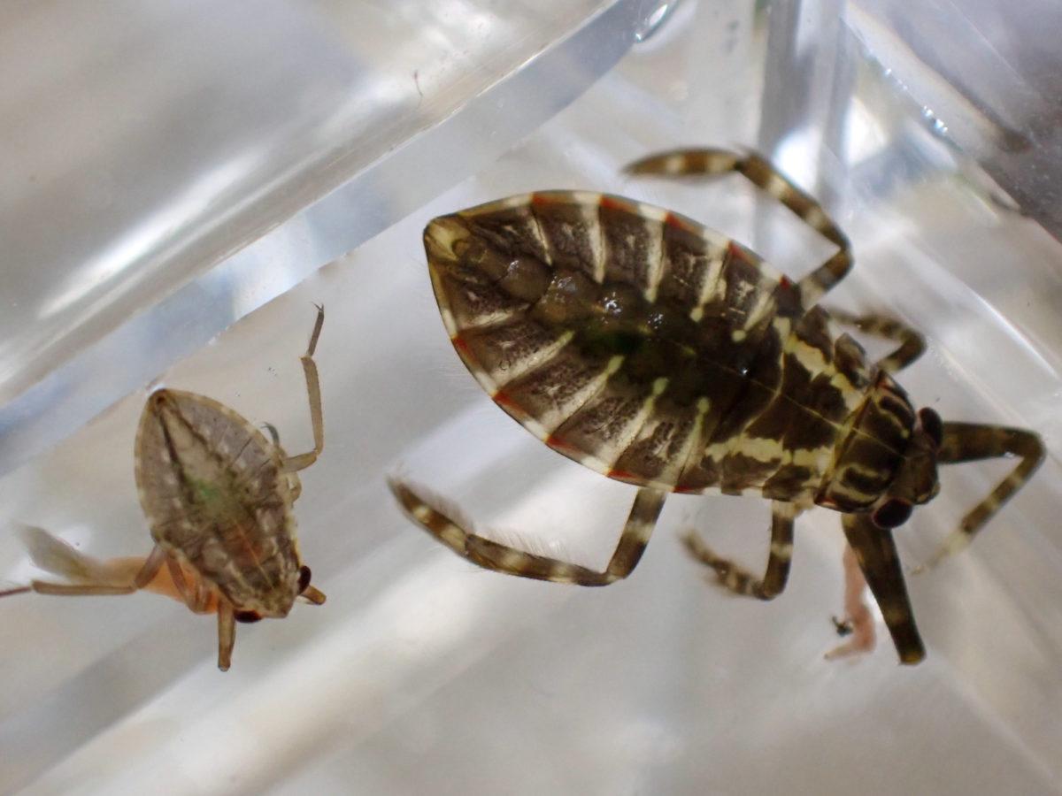 タガメ幼虫とコオイムシ幼虫の体格差