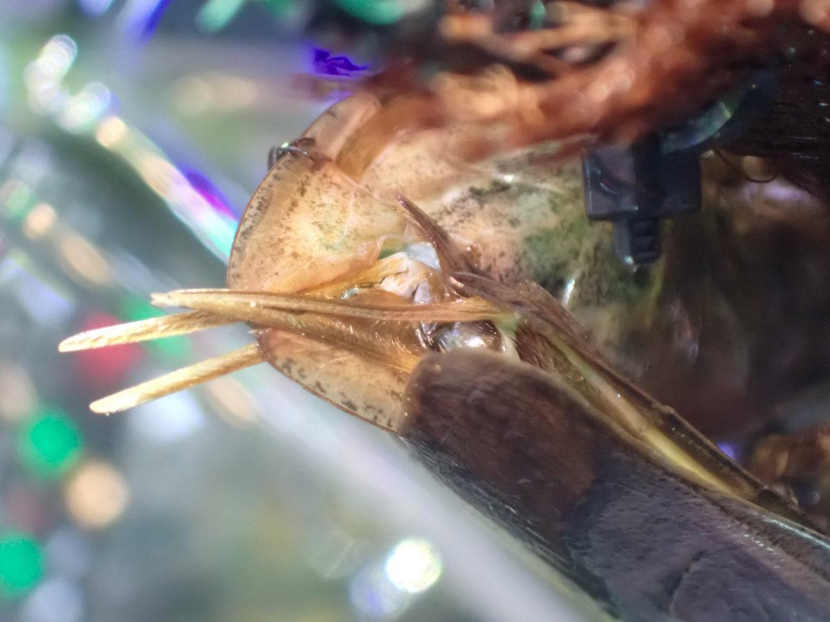タガメの交尾
