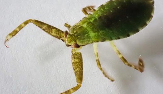 タガメにも天敵はいる?幼虫時代は捕食される側!