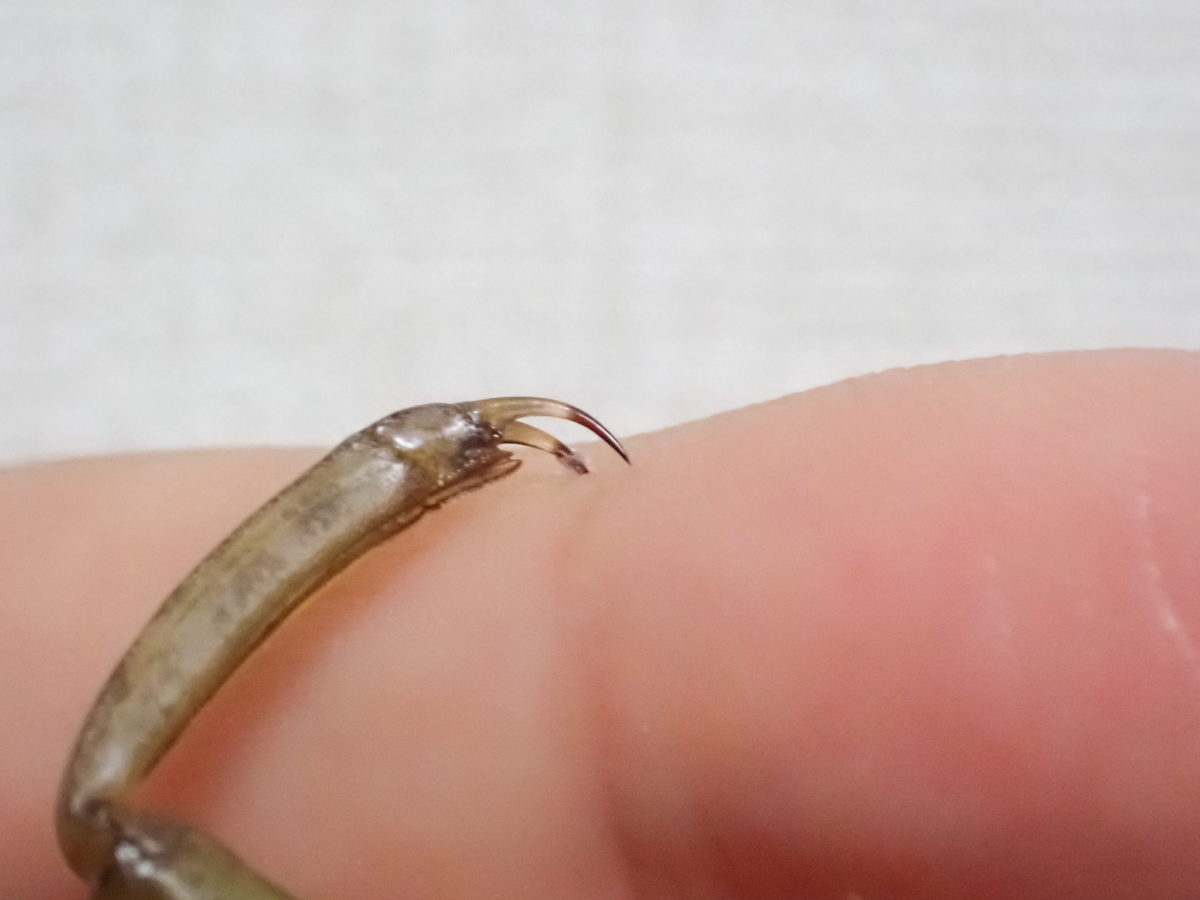 タガメ幼虫の爪