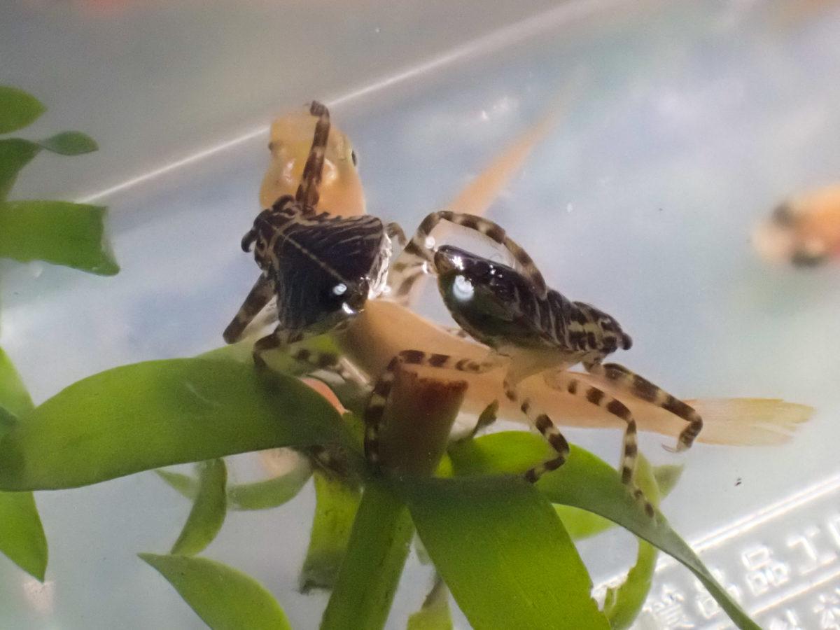 メダカを襲うタガメ1令幼虫
