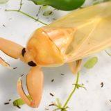 羽化直後のタガメ新成虫