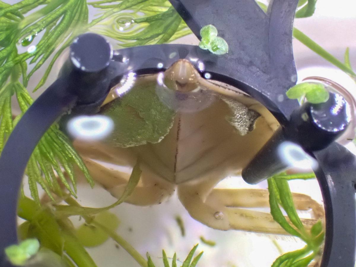 タガメ幼虫の呼吸