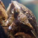 タガメの頭部