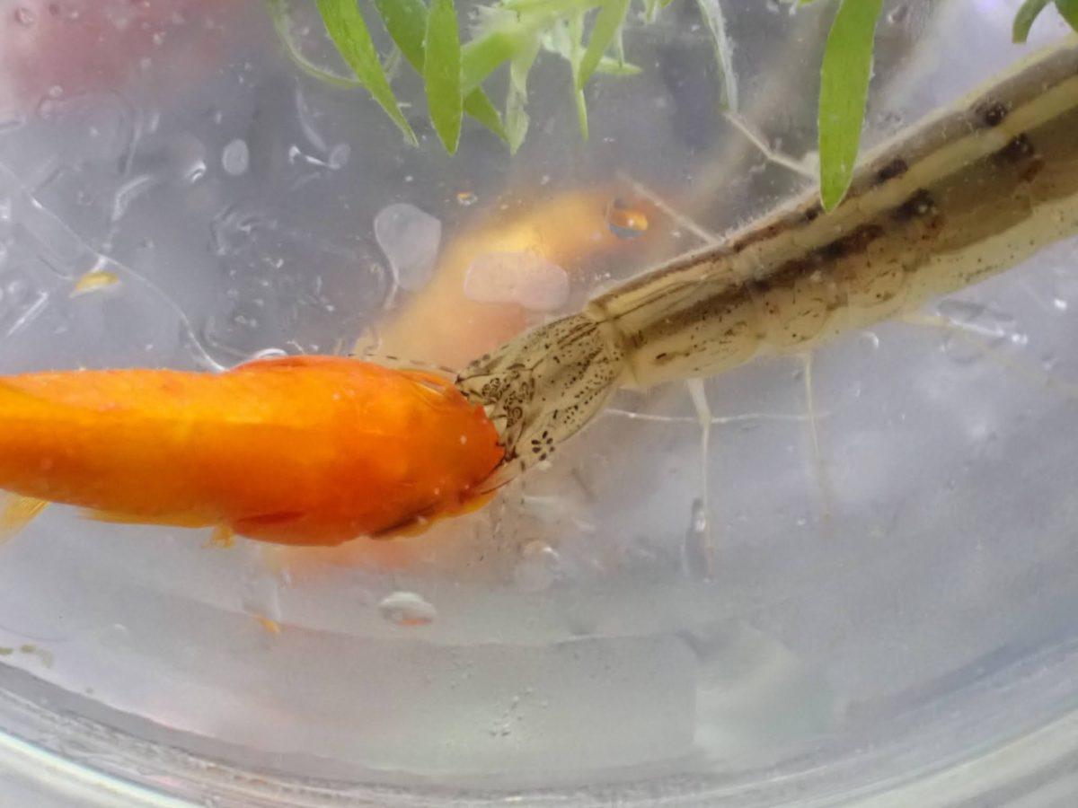 金魚を食べるヒメケシゲンゴロウ3令幼虫