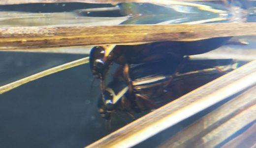 山梨の北杜市オオムラサキセンターでオウサマゲンゴロウモドキを見てきた