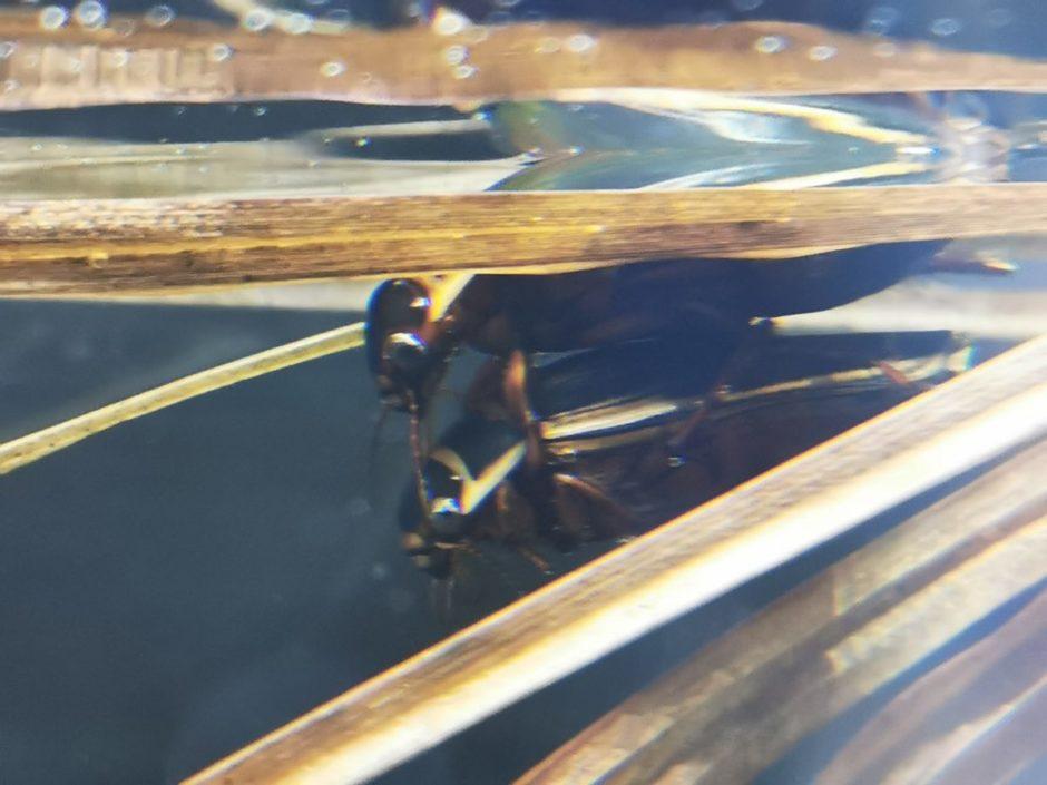オウサマゲンゴロウモドキの交尾